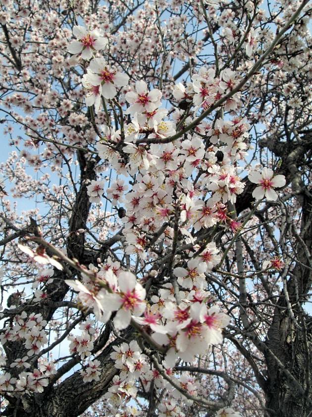 кира алемасова как цветущий миндаль рассмотрим основные