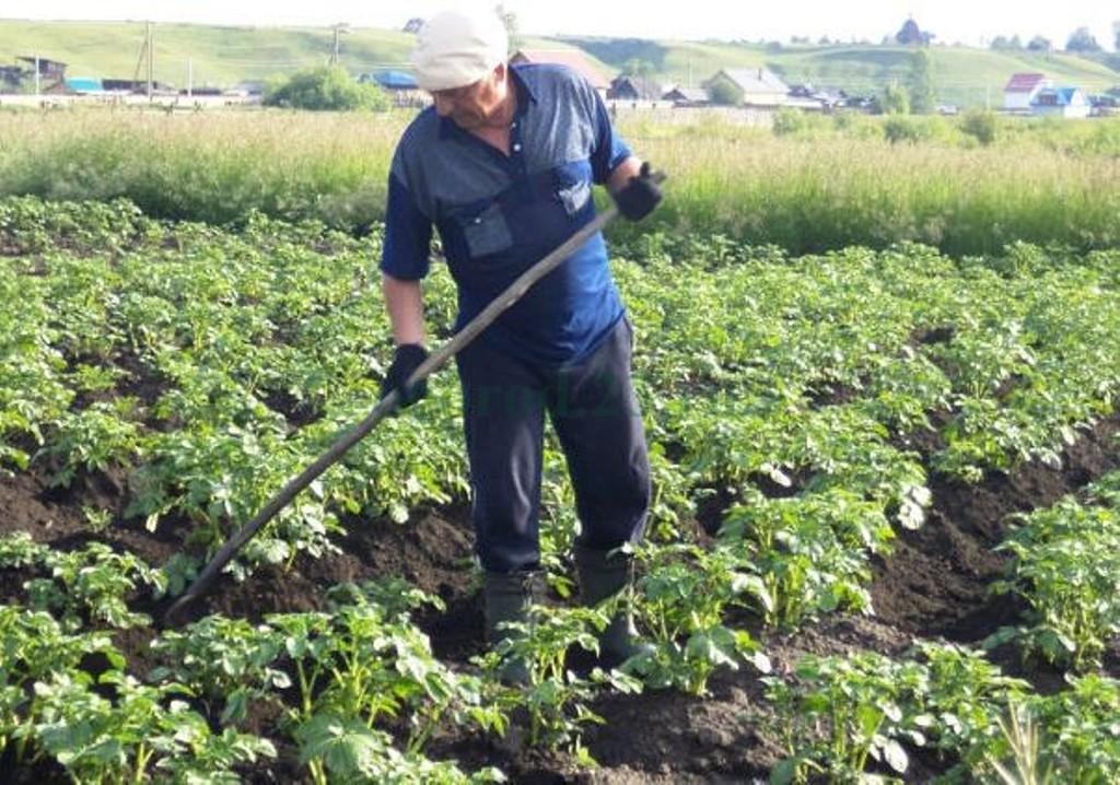 Выращивание картофеля с умом без прополки и окучивания 49