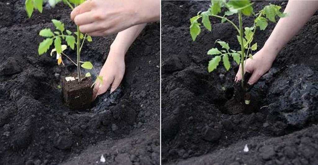Как правильно сажать рассаду томатов 59
