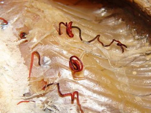 как выглядят паразиты в кале человека