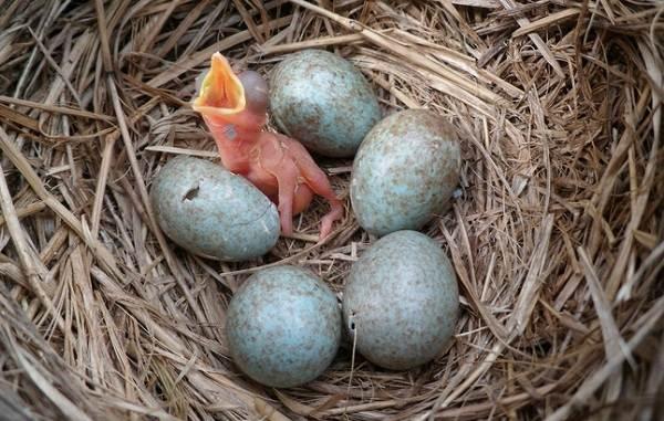 drozd-ryabinnik-ptica-opisanie-osobennosti-obraz-zhizni-i-sreda-obitaniya-ryabinnika-20.jpg