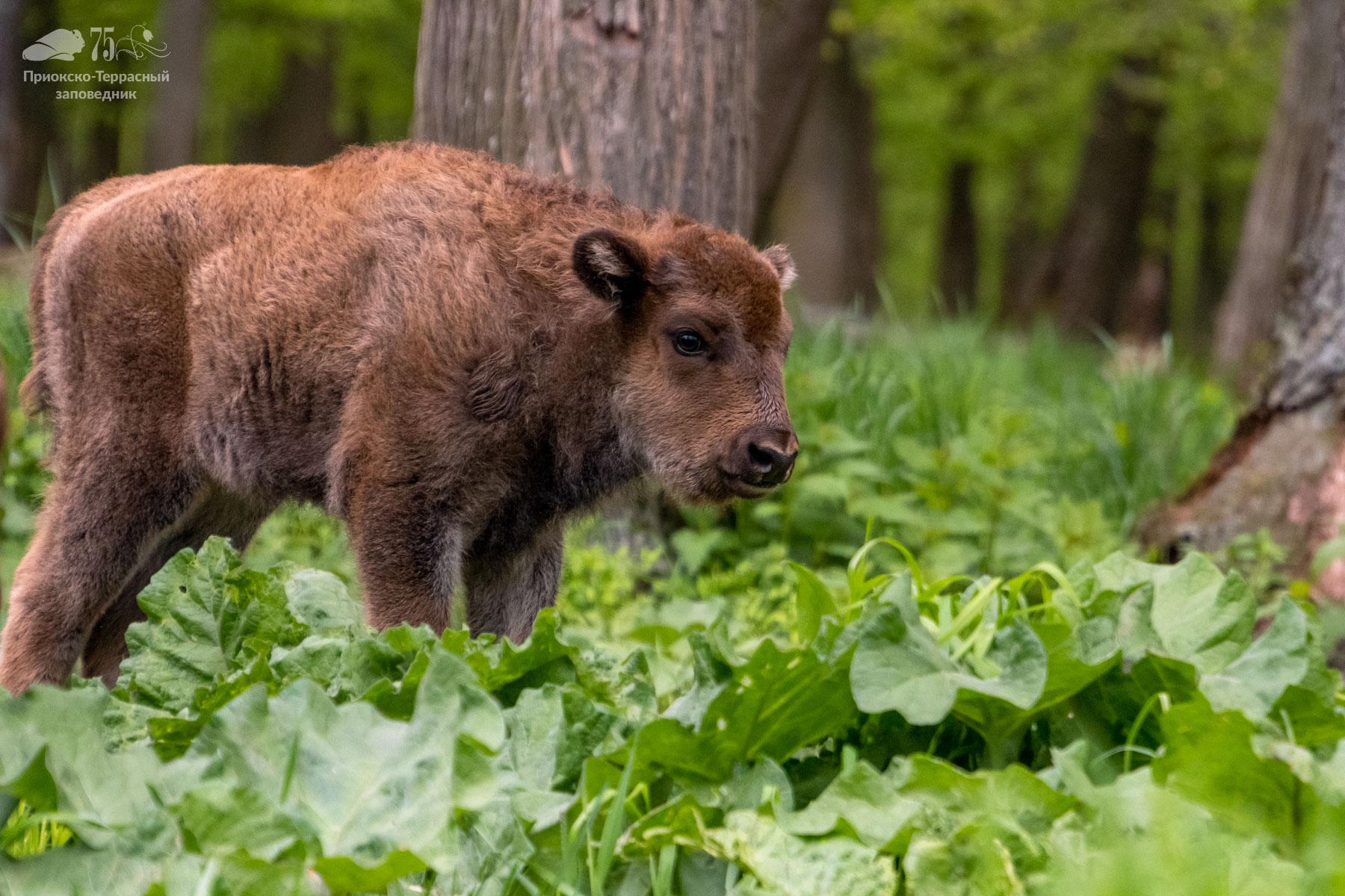 Отличная новость для любителей животных – зубров кормить разрешается! - фото 3