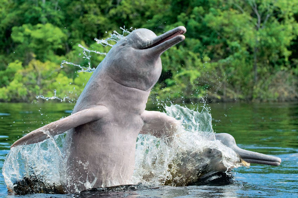Картинка амазонского дельфина