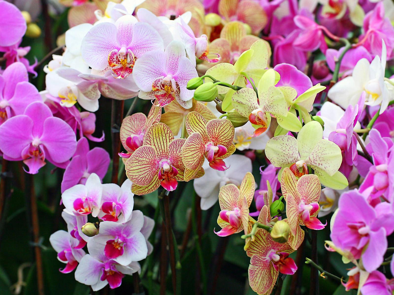 Очень красивые орхидеи картинки