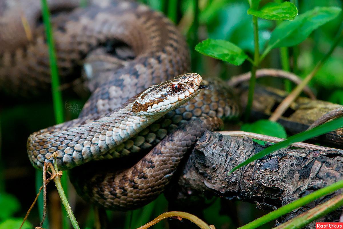 какие змеи водятся в нижегородской области фото тот, кто