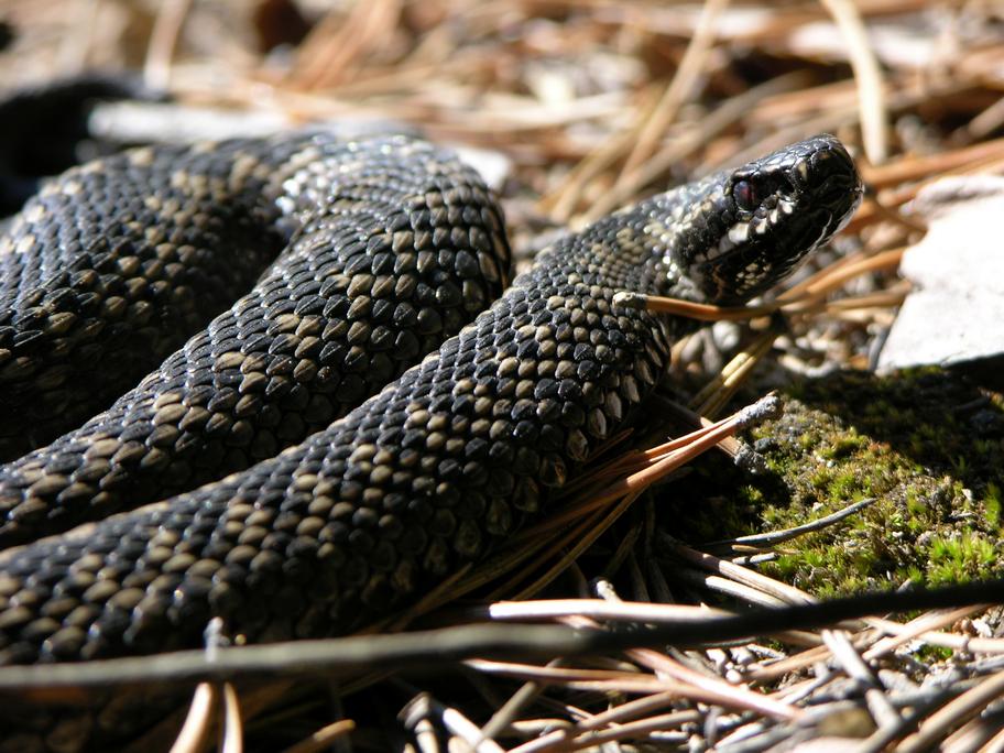 Змея гадюка фото в украине
