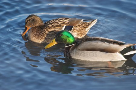 depositphotos 28217383-stock-photo-couple-of-ducks