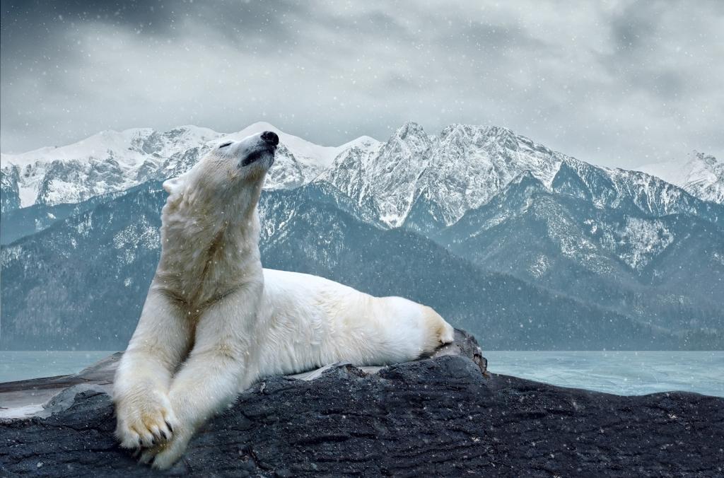 фото полярного медведя приподнятые