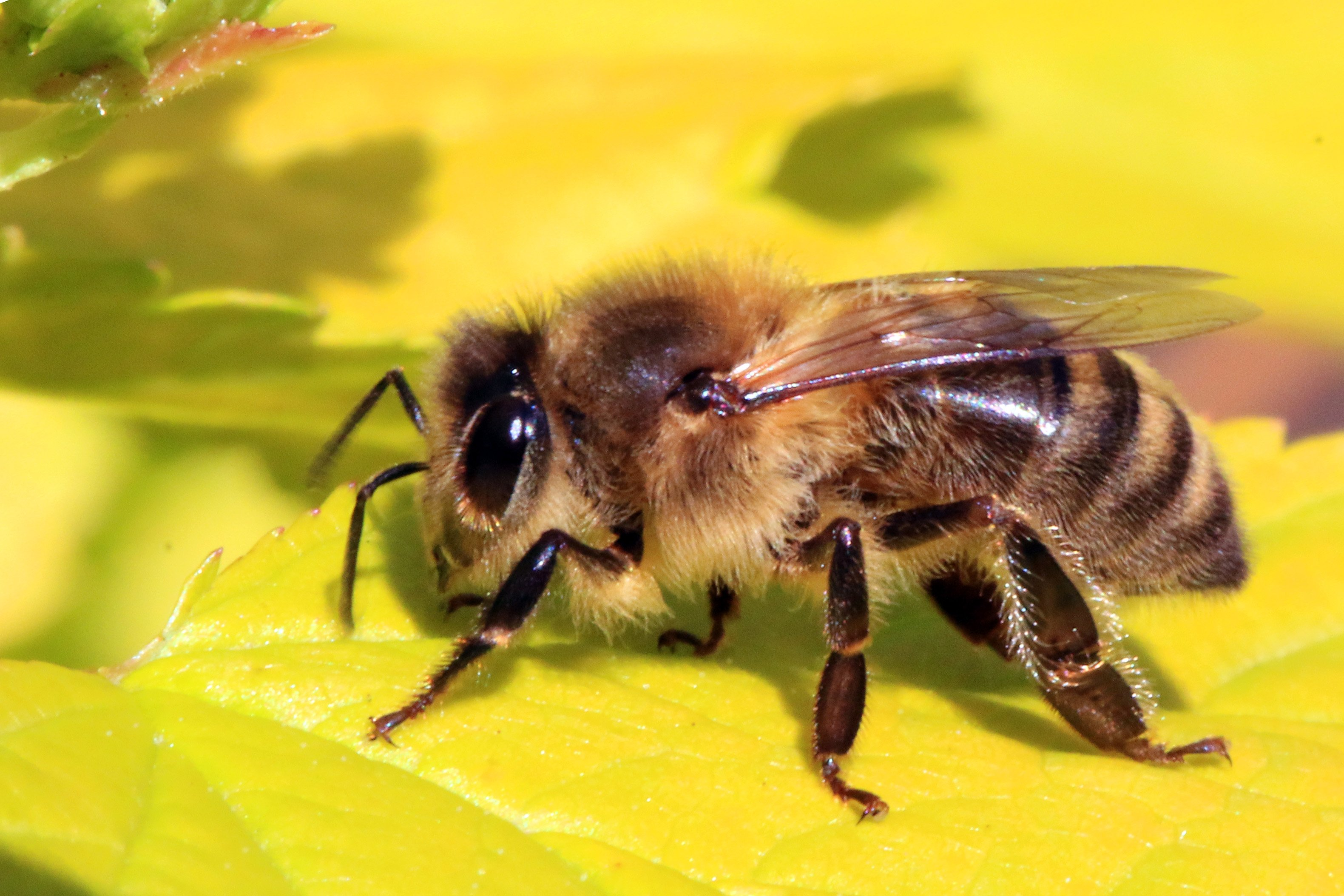 1498646080_honey_bee_apis_mellifera.jpg