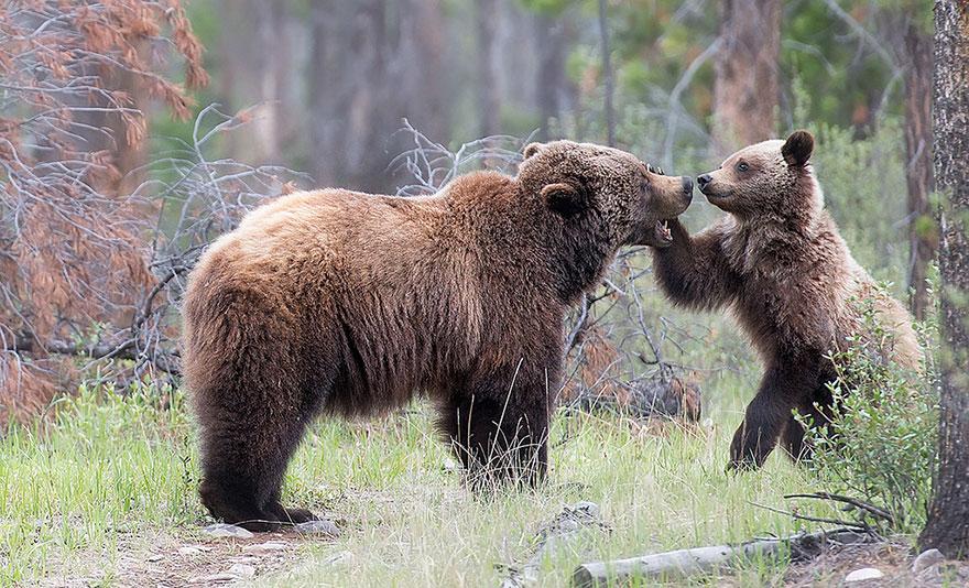 Медведица и медведь картинки