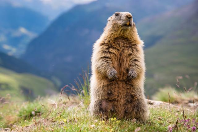 На Алтае запретили охоту на сурков из-за чумы - фото 1